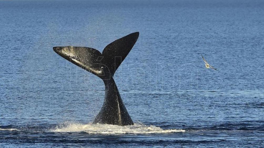 Las ballenas se muestran en interesante número en proximidades de las costas chubutenses desde mediados de abril.