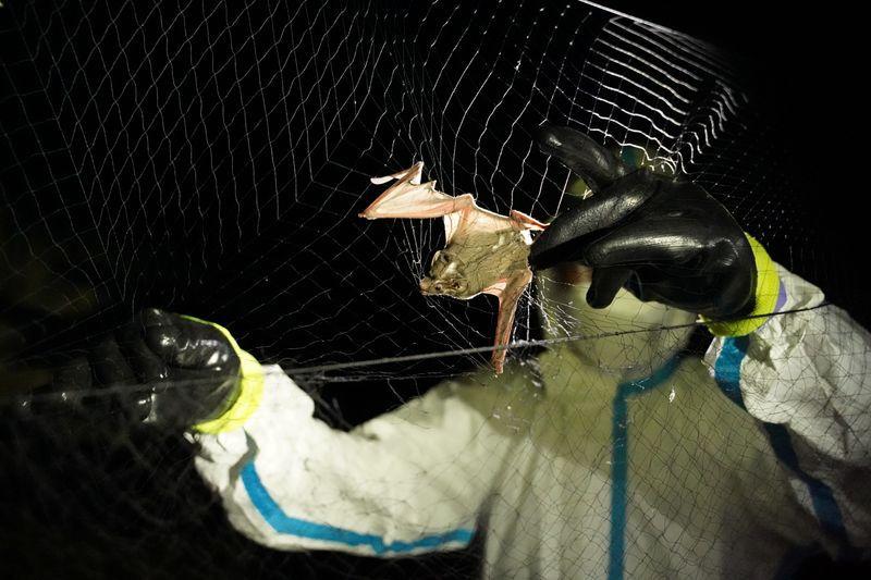 También se han realizado estudio en murciélagos de Camboya, en el sudeste asiático, para determinar el origen de la pandemia del COVID-19 (REUTERS/Cindy Liu)