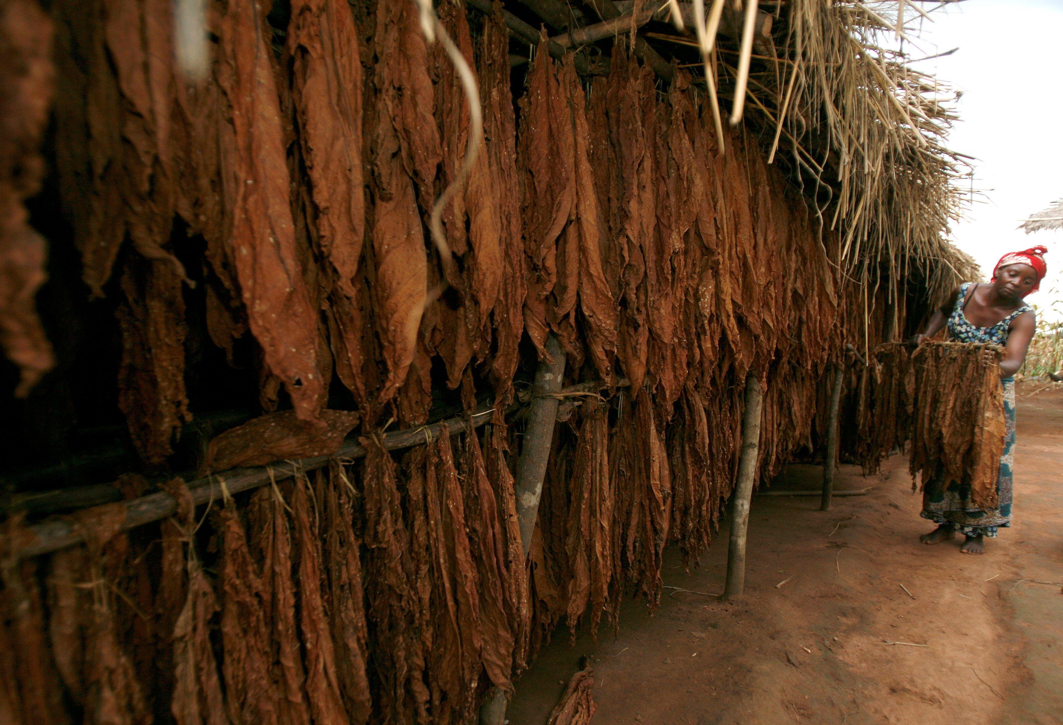 Es poco probable que las semillas de tabaco se hayan depositado en el hogar de forma natural, dicen los investigadores (REUTERS)